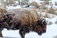 Magpie on a Bison in a Snowstorm