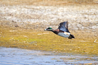 Widgeon Flushing-2