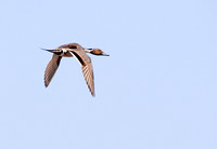 Pintails Flying-5