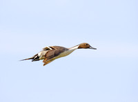 Pintails Flying-13