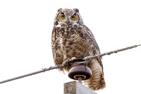 Great Horned Owl on a Powe Line
