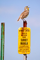 Western Meadowlark on a Post-2-2