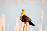 Yellow-Headed Blackbird in the Marsh-7-2
