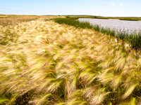 Foxtail on the edge of a North Dakota marsh (1 of 1)