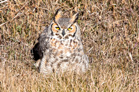 Great Horned Owl on the Ground-2
