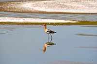 American Avocets and Reflection-2