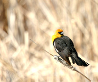 Yellow-Headed Blackbird in the Marsh-5