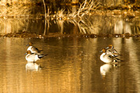Pintail on a Pond-2-2