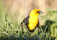 Yellow-Headed Blackbird in the Marsh-2