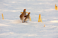 Hungarian Partridge in the Snow (4 of 5)