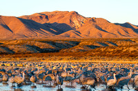 Roosting Cranes at Sunrise, Bosque del Apache National Wildlife Refuge, New Mexico