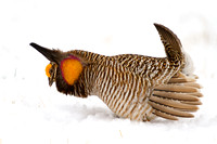 Prairie Chicken Dancing in the Snow-24