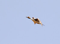 Pintails Flying-6