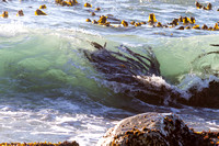 Kelp in the waves on the California Coast