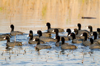 Flock of American Coots-2
