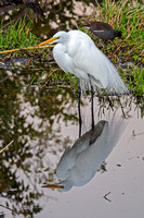 Snowy Egret, Everglades National Park