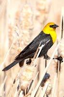 Yellow-Headed Blackbird in the Marsh-3