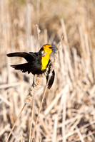 Yellow-Headed Blackbird in the Marsh-9-2