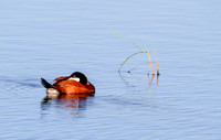 Ruddy Duck Drake on Pond-4