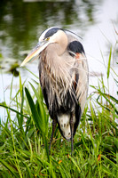 Great Blue Heron-6