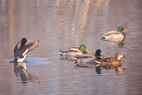 Scaup and Mallards on a Pond