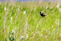 Bobolink on the Dakota Prairie