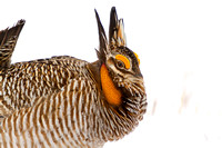 Prairie Chicken Dancing in the Snow-28