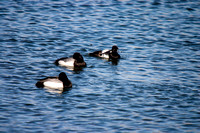 Scaup on a Pond-2-2