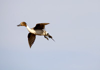 Pintails Flying-9