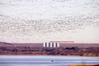 Canada Geese and boat on the Missouri River below the Garrison Dam, North Dakota
