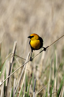 Yellow-Headed Blackbird in the Marsh-2-2