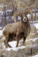Winter Bighorn Sheep in Yellowstone National Park-12