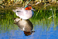Green-winged Teal on a Pond