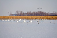 Tundra Swans on a Pond