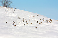 Pheasants in the Snow (10 of 17)