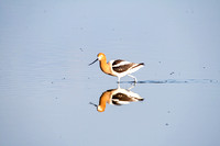 American Avocets and Reflection-3