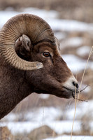 Bighorn Sheep in Yellowstone National Park-3