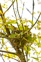 Yellow Warbler on a Nest