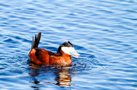 Ruddy Duck Drake Bubbling-6-2