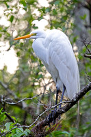Great Egret-2
