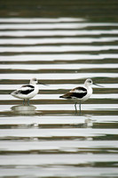 Wave Patterns and American Avocets