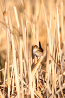 Marsh Wren in a North Dakota Slough-2-2