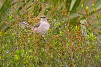 Northern Mockingbird in the Florida Everglades-2