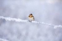 Snow Bunting on Fence
