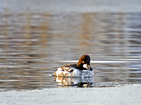 Goldeneyes on a Pond-2