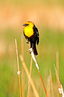 Yellow-Headed Blackbird in the Marsh-4