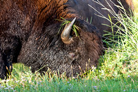 Bison Feeding, North Dakota Badlands