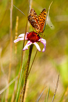 Butterfly and coneflower, North Dakota badlands (1 of 1)