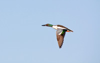 Northern Shovelers in Flight-9
