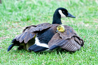 Canada Goose with Goslings under her Wing-2
